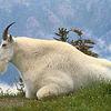 goatster